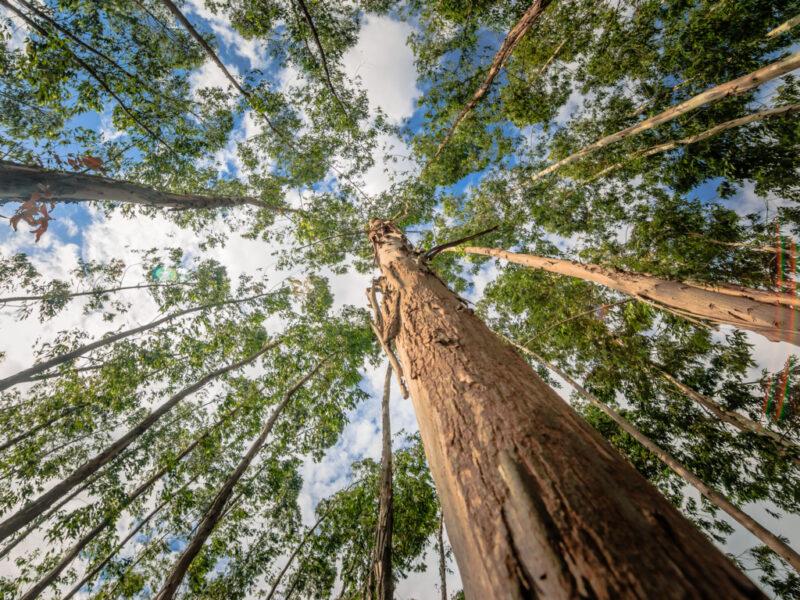 Descubre se si puede plantar eucalipto en galicia